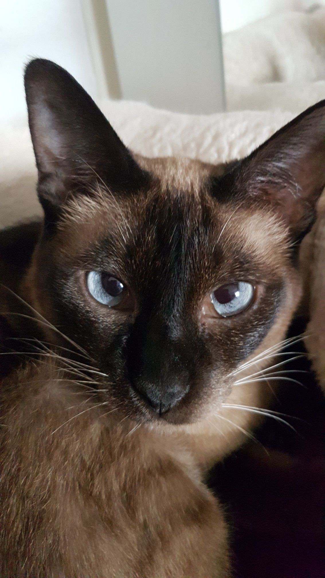 Pin by Susan DeWitt on siamese (With images) Siamese