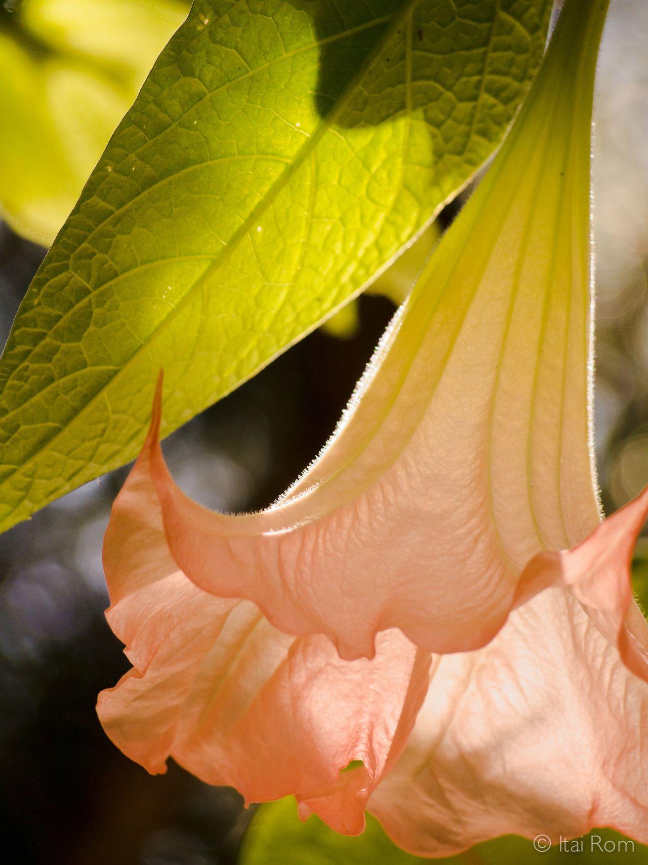 Trumpet Flower by Itai Rom Plant leaves, Flowers, Peach