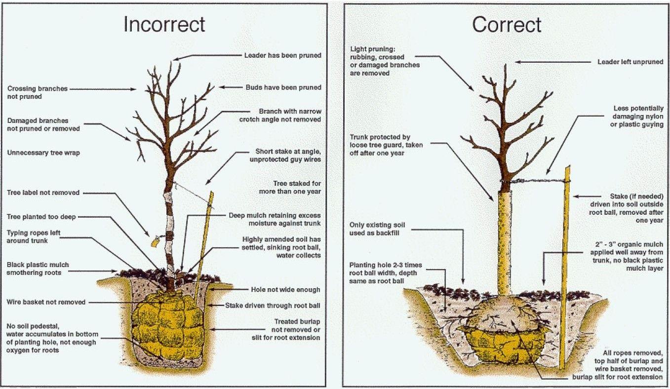 tree ottawa diy tree transplants [ 1357 x 788 Pixel ]