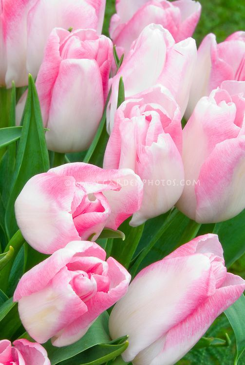 Tulipa akela pink and white single late tulips in spring bulbs tulipa akela pink and white single late tulips in spring bulbs flowers mightylinksfo