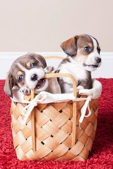 Orphaned beagle mix pups available for adoption at Roscoe's Rescue, Inc. | Pets and Farm Animals ...