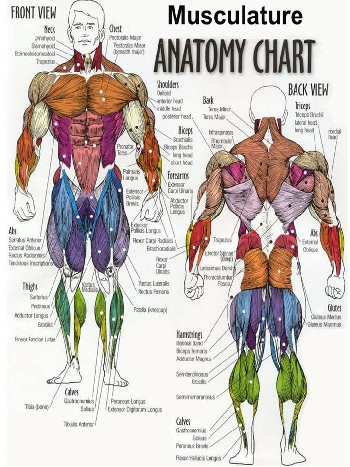 Buy Exercise Muscle Posters Online | Pinterest | Muscle anatomy ...
