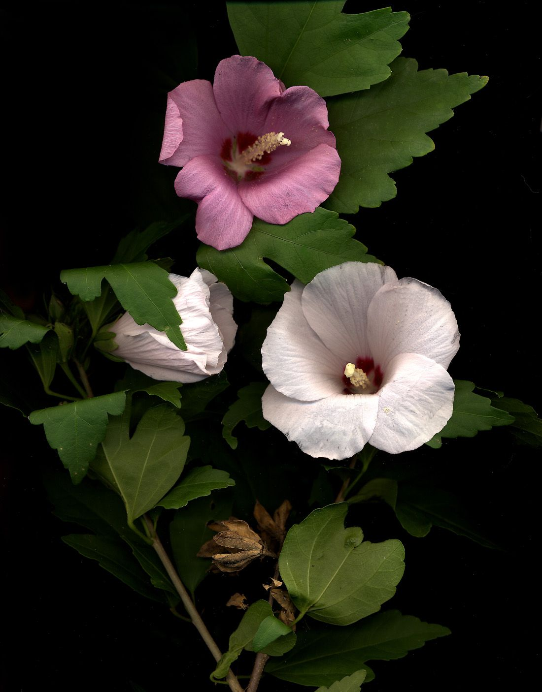 Rose Of Sharon Rose Of Sharon Looks Like Hibiscus Its Not