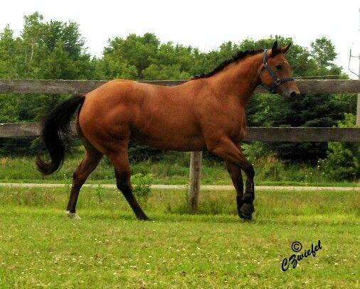 Pin de El alacrán. R Rocha en cuarto de milla horses | Pinterest ...