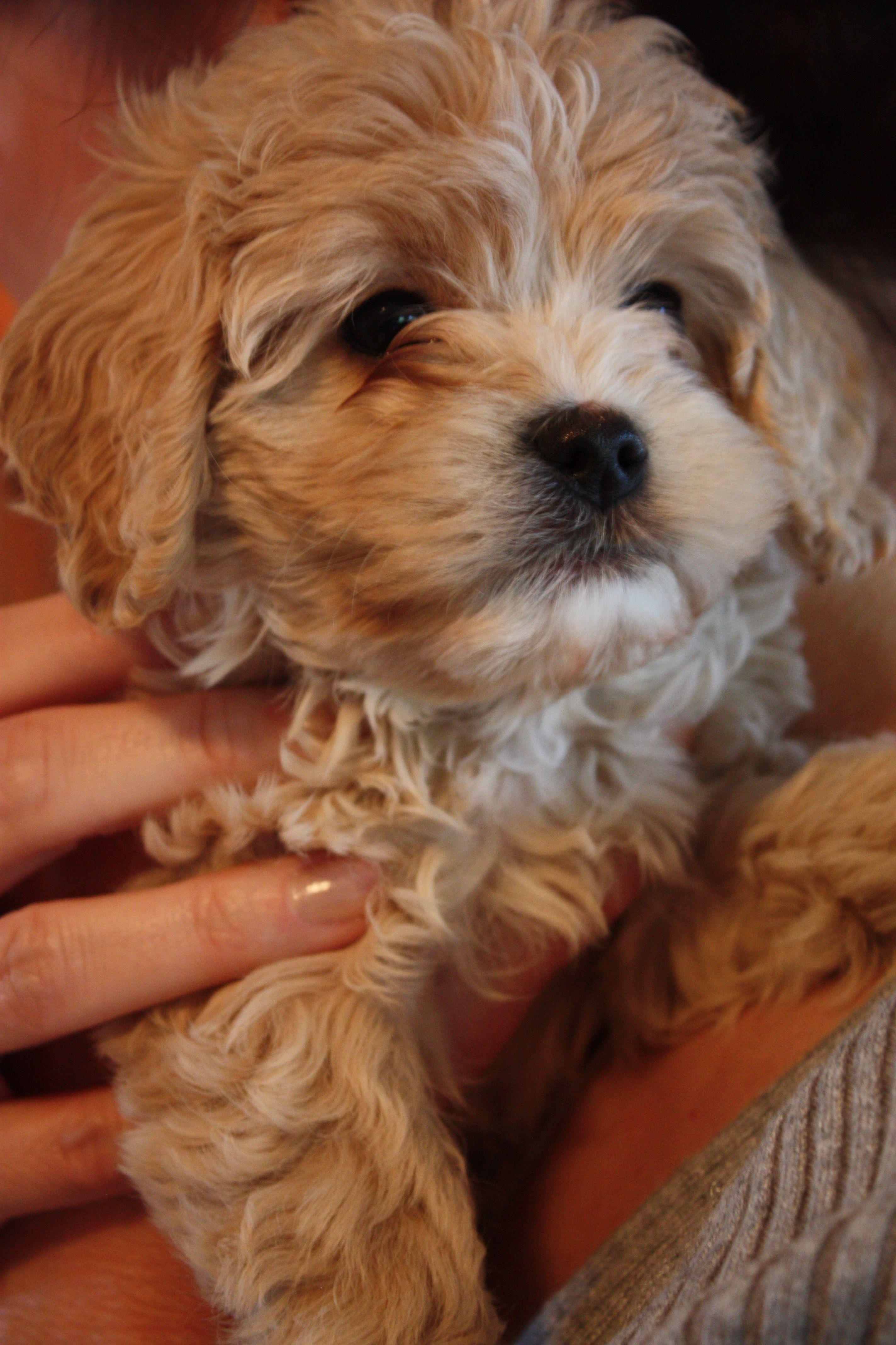 My new baby! 6 wk old Cockapoo ) Puppies, Cockapoo