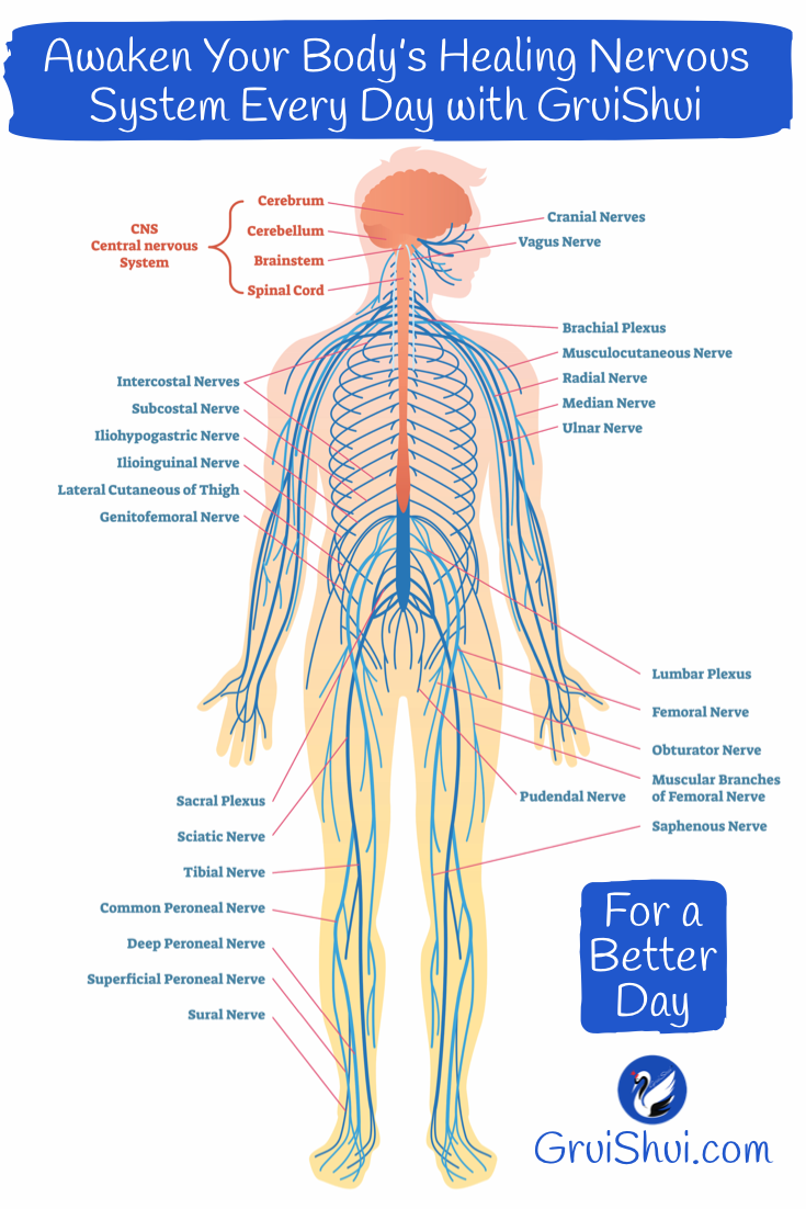 Body Systems Activating Daily Workout In 2020 Peripheral Nervous System Nervous System Human Nervous System