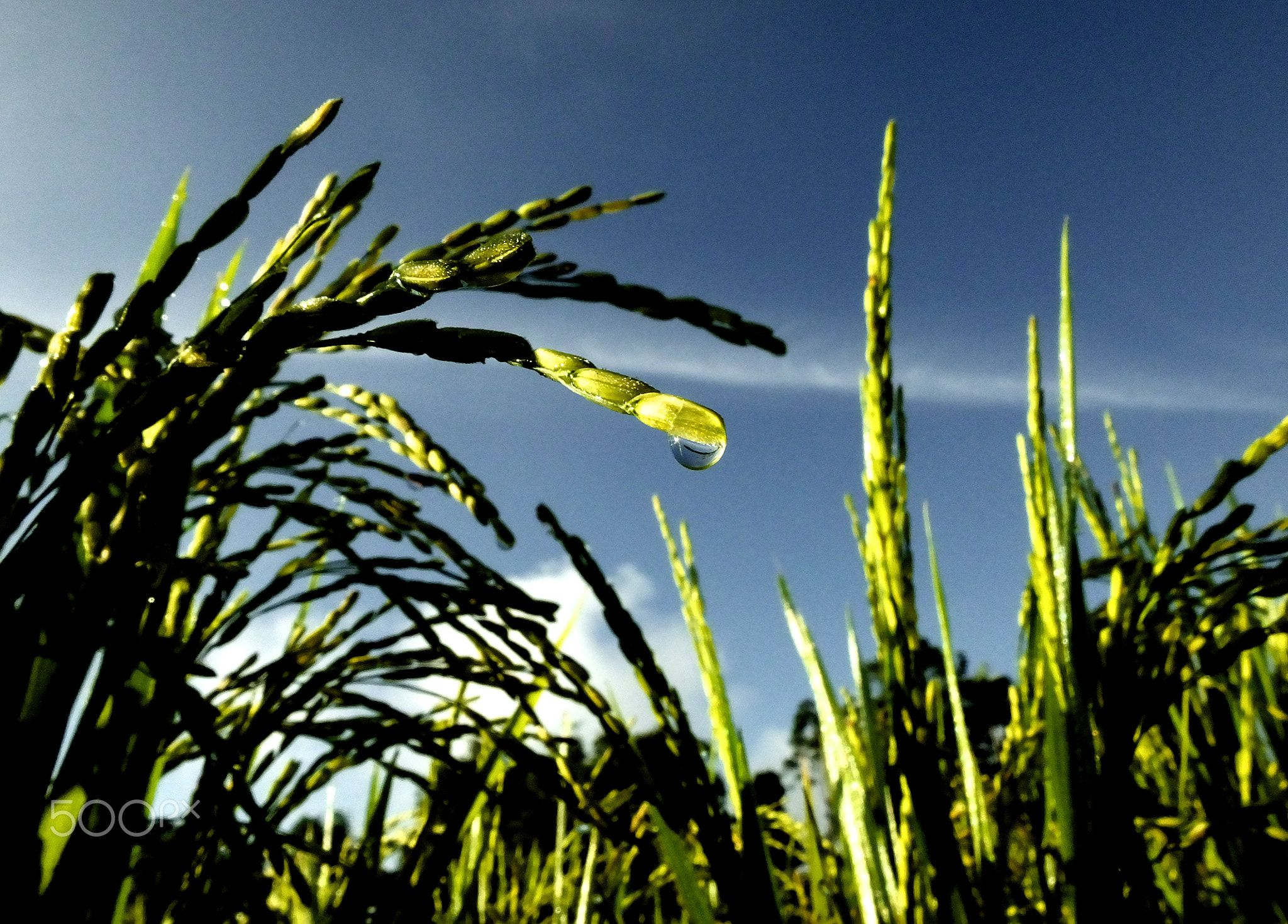 Dew At The End Of Paddy Seed Rice Plants In The Morning Are