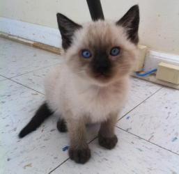Adopt Robert On Petfinder Cute Animals Siamese Kittens Animals