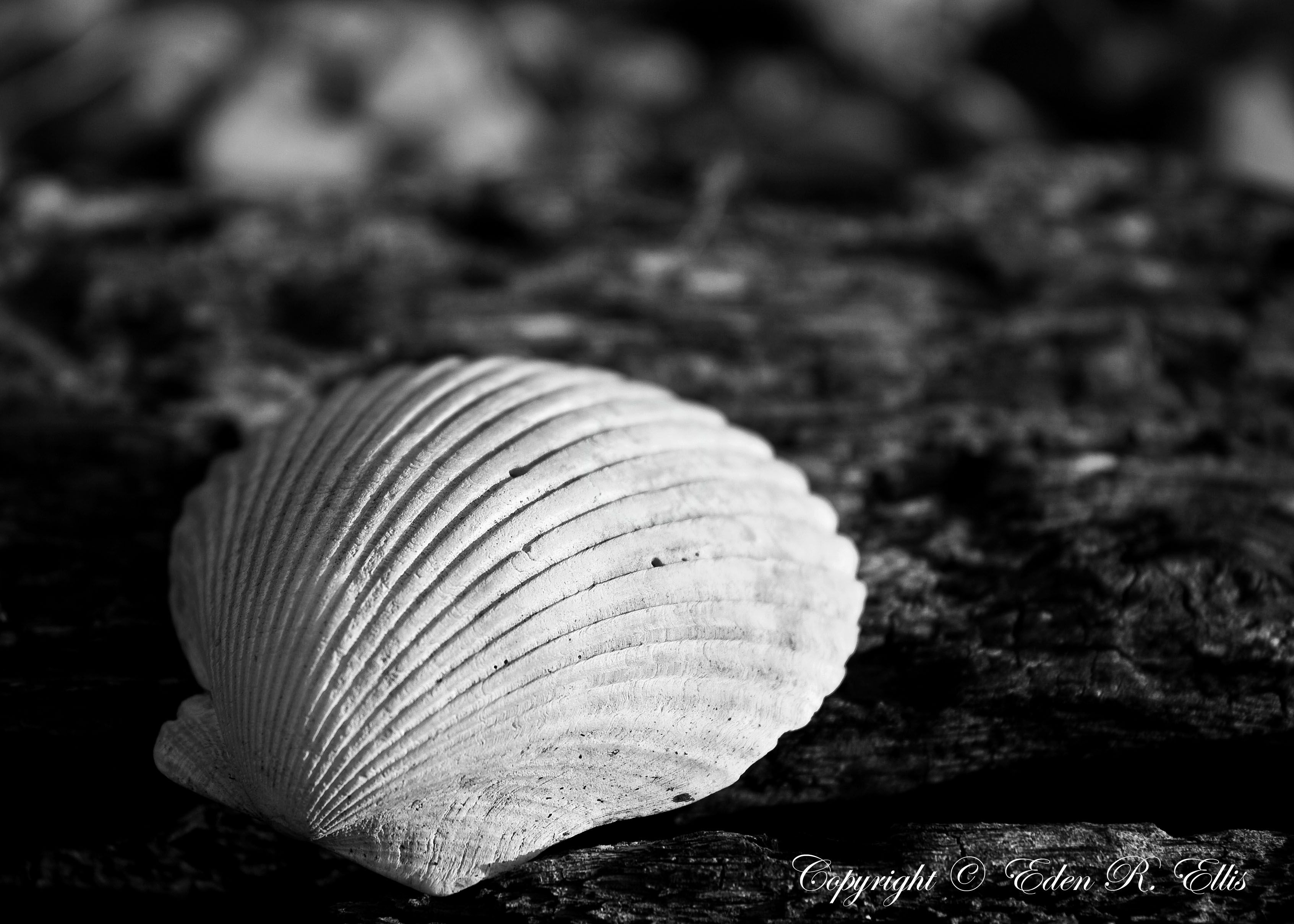 Black and white seashells apparently one of the original owners of