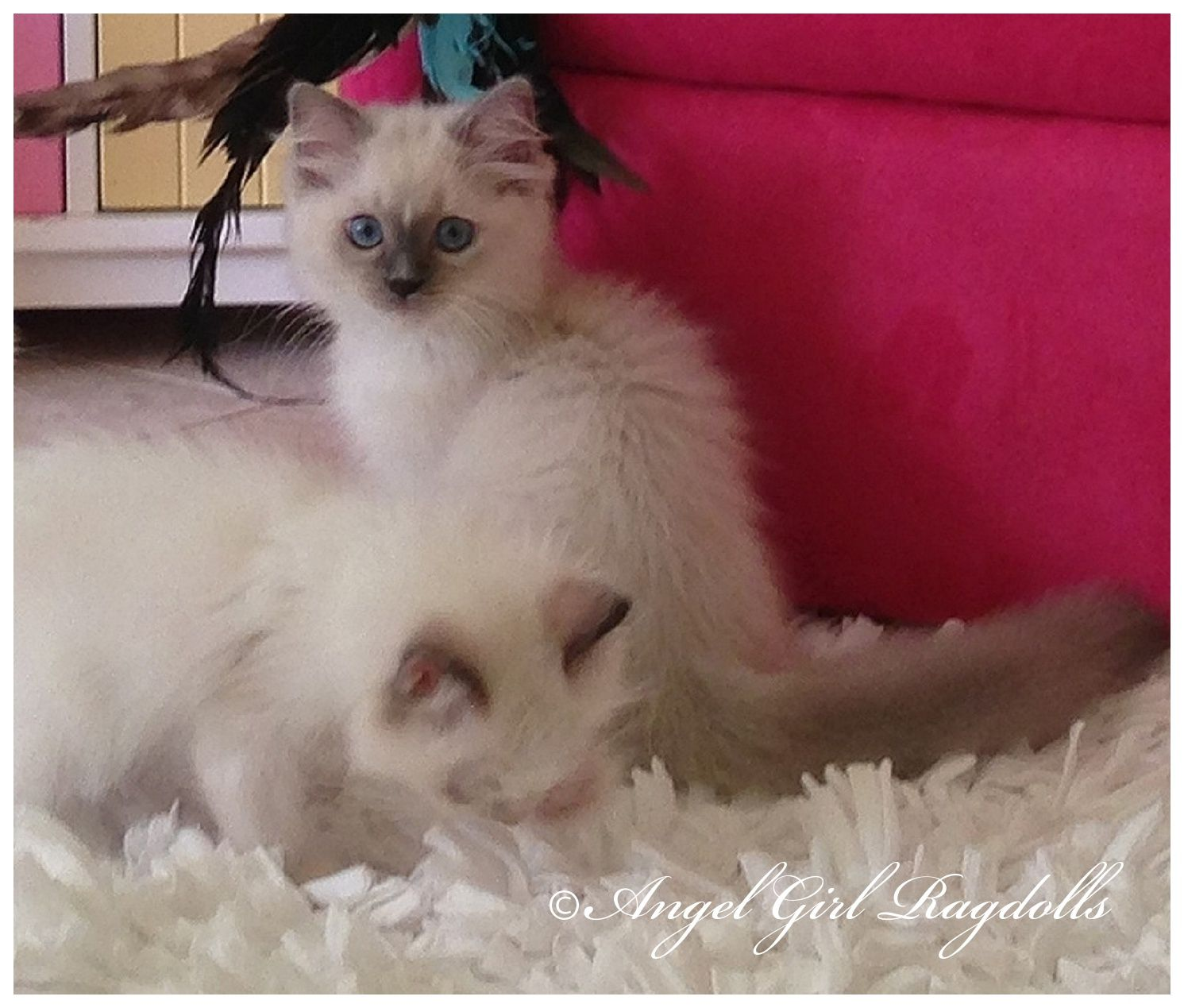 RAGDOLL KITTENS AVAILABLE FOR SALE BEAUTIFUL FLOPPY FLUFFY and