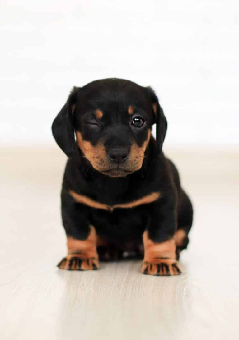 Pet Insurance Cost How Much Will It Cost You Baby Dogs Brown Puppies Puppies