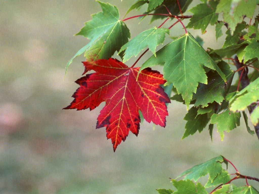 Maple Tree   Leaves and Red maple tree