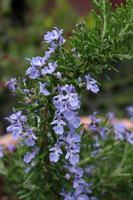 Rosmarinus Officinalis Google Search In 2020 Medicinal Plants Plants Rosemary Plant