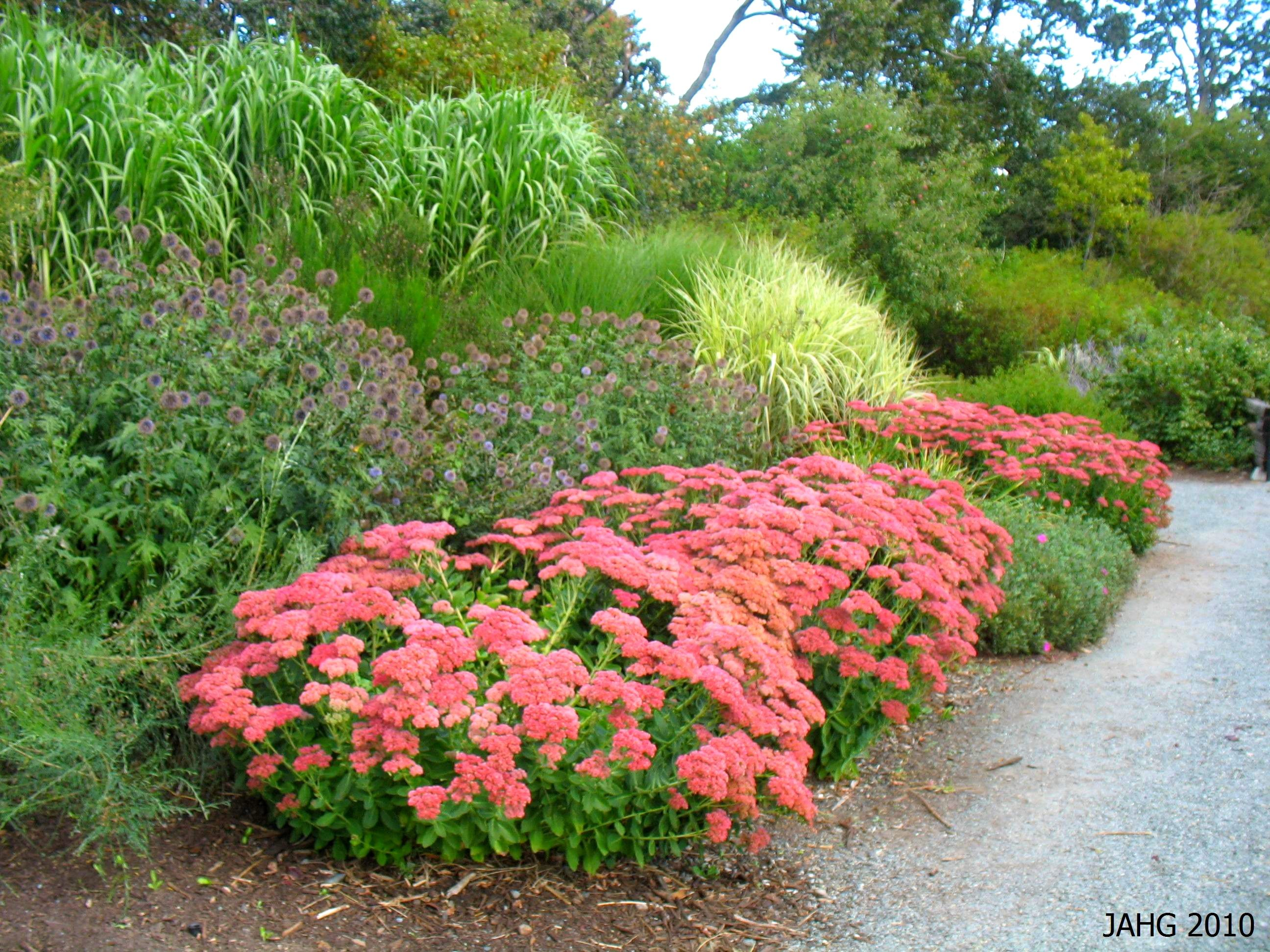 Here Sedum Autumn Joy Is Seen In A Border With Echinacea
