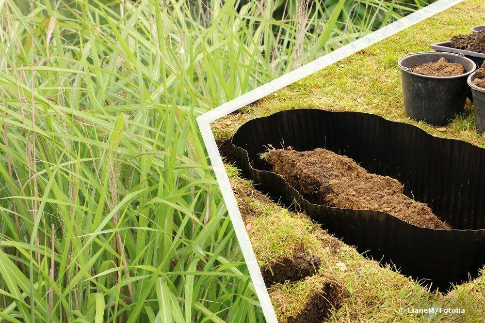Wurzelsperre Fur Chinaschilf Wir Verraten Ob Eine Rhizomsperre Bei Chinaschilf Sinnvoll Ist Und Wie Sie Die Wuchsfreudige Pflanze E Chinaschilf Gras Pflanzen