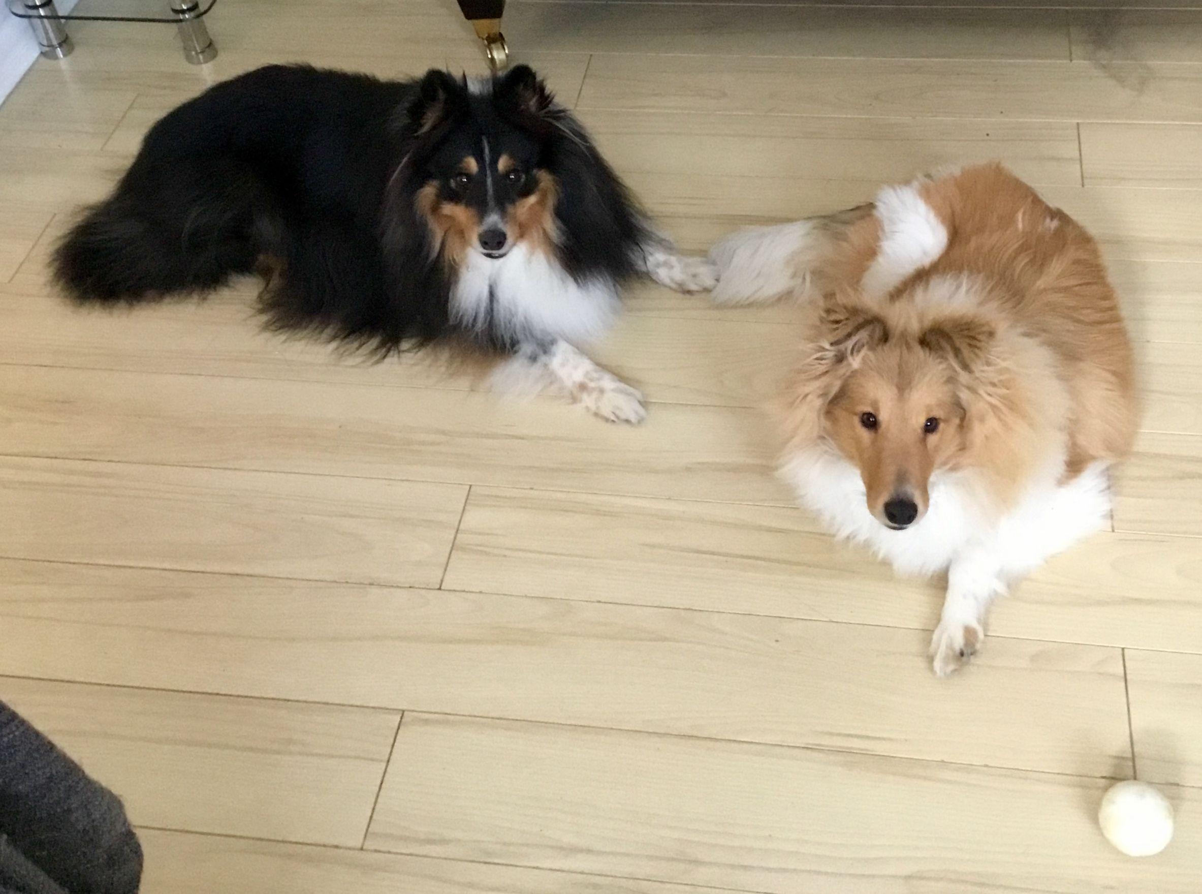 Reveille Ix On Rough Collie Collie Dog Dogs Puppies