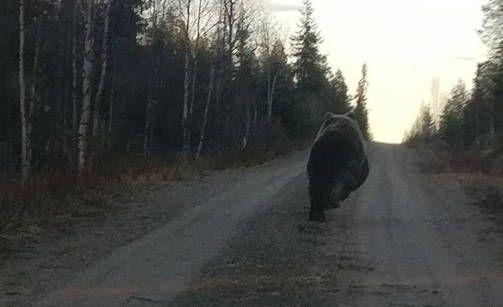 A bear ran in front of a car in Kuusamo, Finland - Karhu meni useita kymmeniä metrejä auton edellä. 2-7-2017
