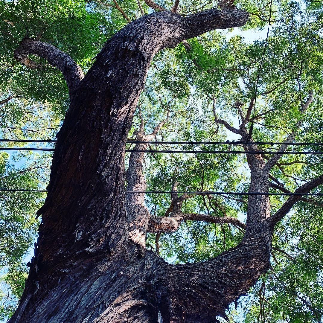 Trees Of Sydney On Instagram Eucalyptus Microcorys Tallowwood Tree Myrtaceae Eucalyptus