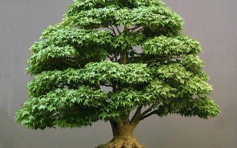 acer-bonsai-pall-470x295.jpg (470×295)