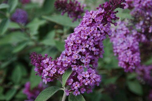 Buddleia Flutterby Garden Flower Edible Garden Easy Plants To Grow Hummingbird Plants