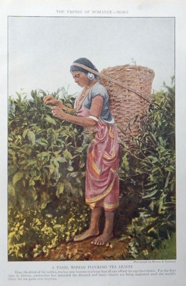 Tamil Woman  Color Print Art Plucking Tea Leaves Rare  National Geographic Magazine Art