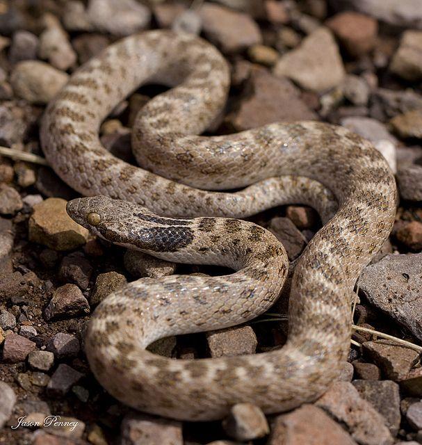 Texas Night Snake Hypsiglena Torquata Jani Snake Texas Snakes