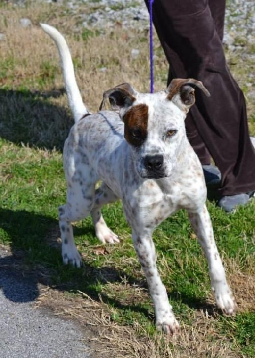 02 14 14 Geoff Boxer Australian Cattle Dog Blue Heeler Mix