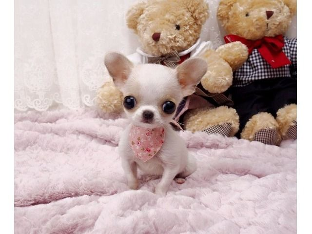 Listing Beautiful Tiny Chihuahua Puppies Is Published On Free