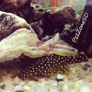 L018 Golden Nugget Pleco Large Spot Fish For Sale Plecostomus Nugget