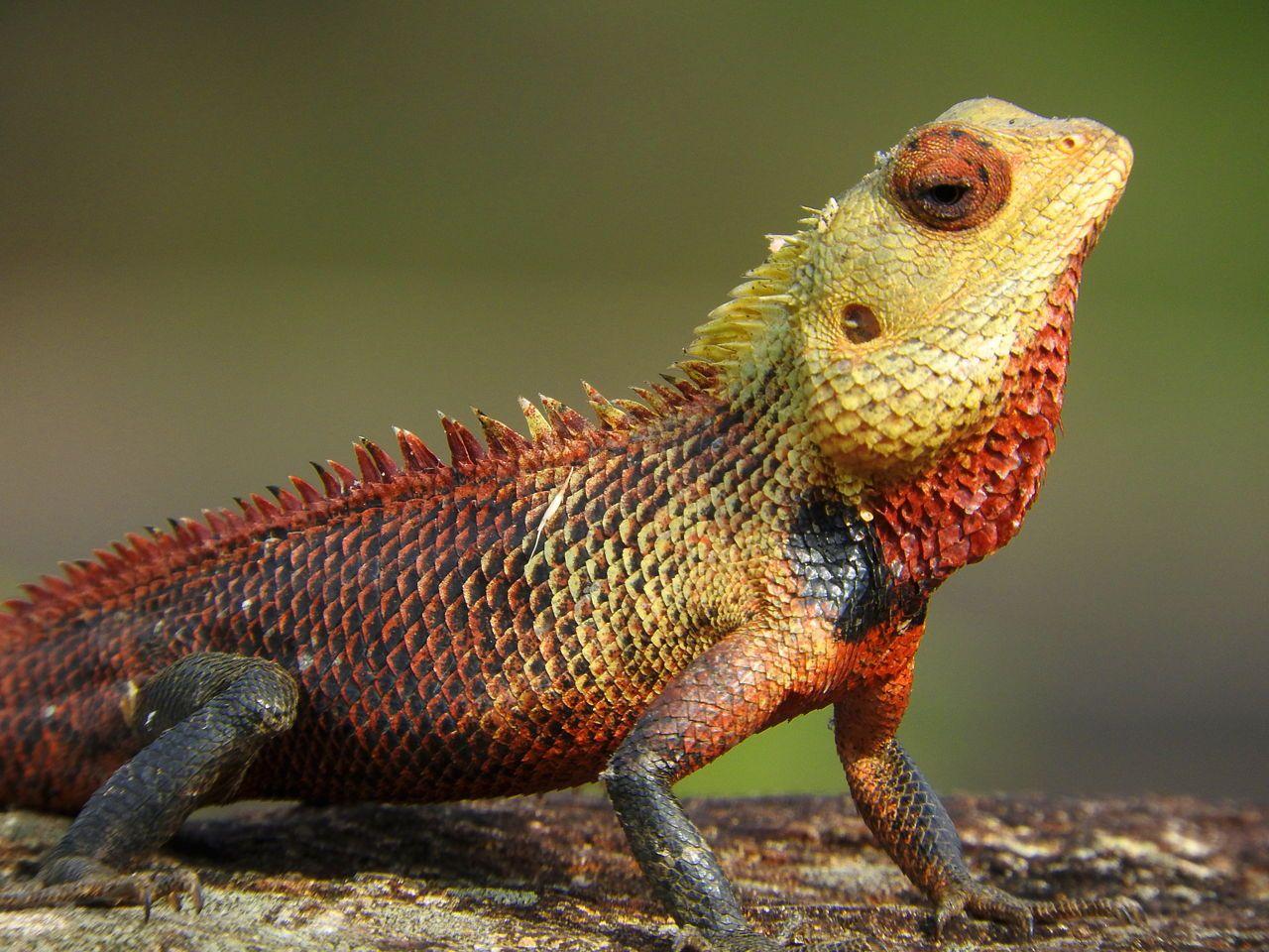 calotes versicolor oriental garden lizard | lizard habitat