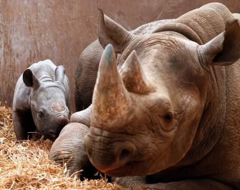 mom & baby Black Rhino