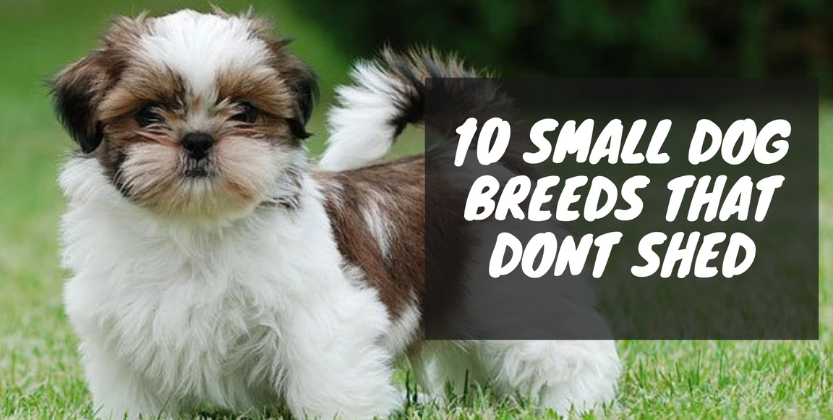 10 Best Small Dog Breeds That Don T Shed Best Pets Supplies In 2020 Dog Breeds That Dont Shed Best Small Dogs Dog Breeds