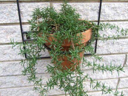 Robot Check Plants Rosemary Plant Live Plants