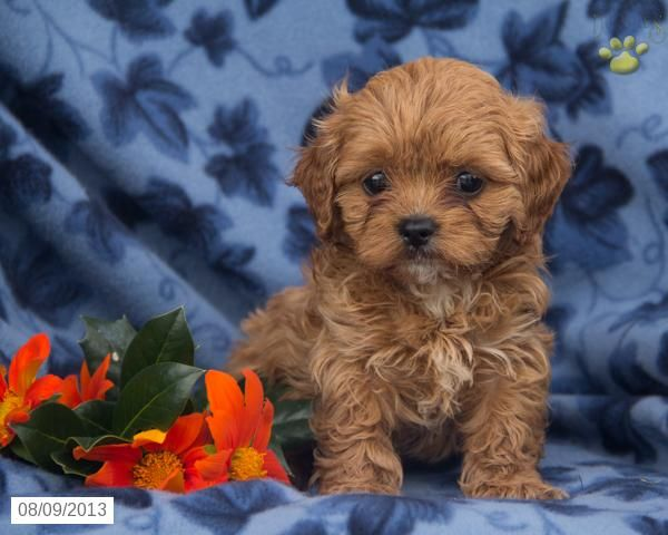 Sandy Cavapoo Puppy For Sale In Lebanon Pa Cavapoo Puppy For Sale Cavapoo Puppies Cavapoo Puppies For Sale Puppies For Sale
