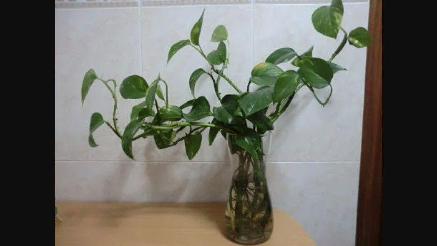 Telefono planta de sombra jardiner a flores y cultivos for Telefono informacion ministerio interior