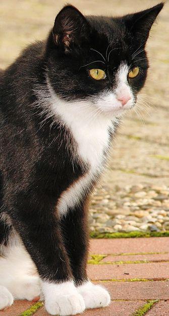 All About Tuxedo Cats Chats Et Chatons Chat Gratuit Chat Noir Et Blanc