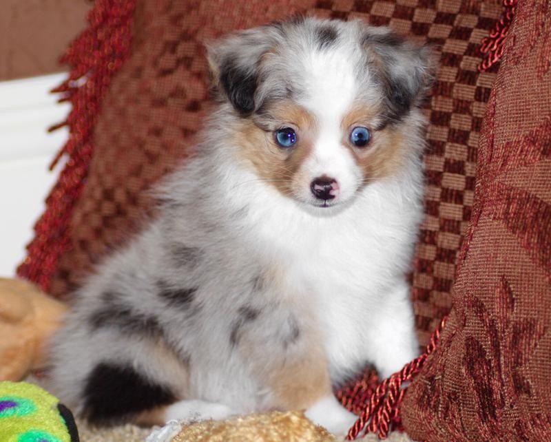 Blue Horizon Toy Australian Shepherds Toy Australian Shepherd Australian Shepherd Aussie Puppies
