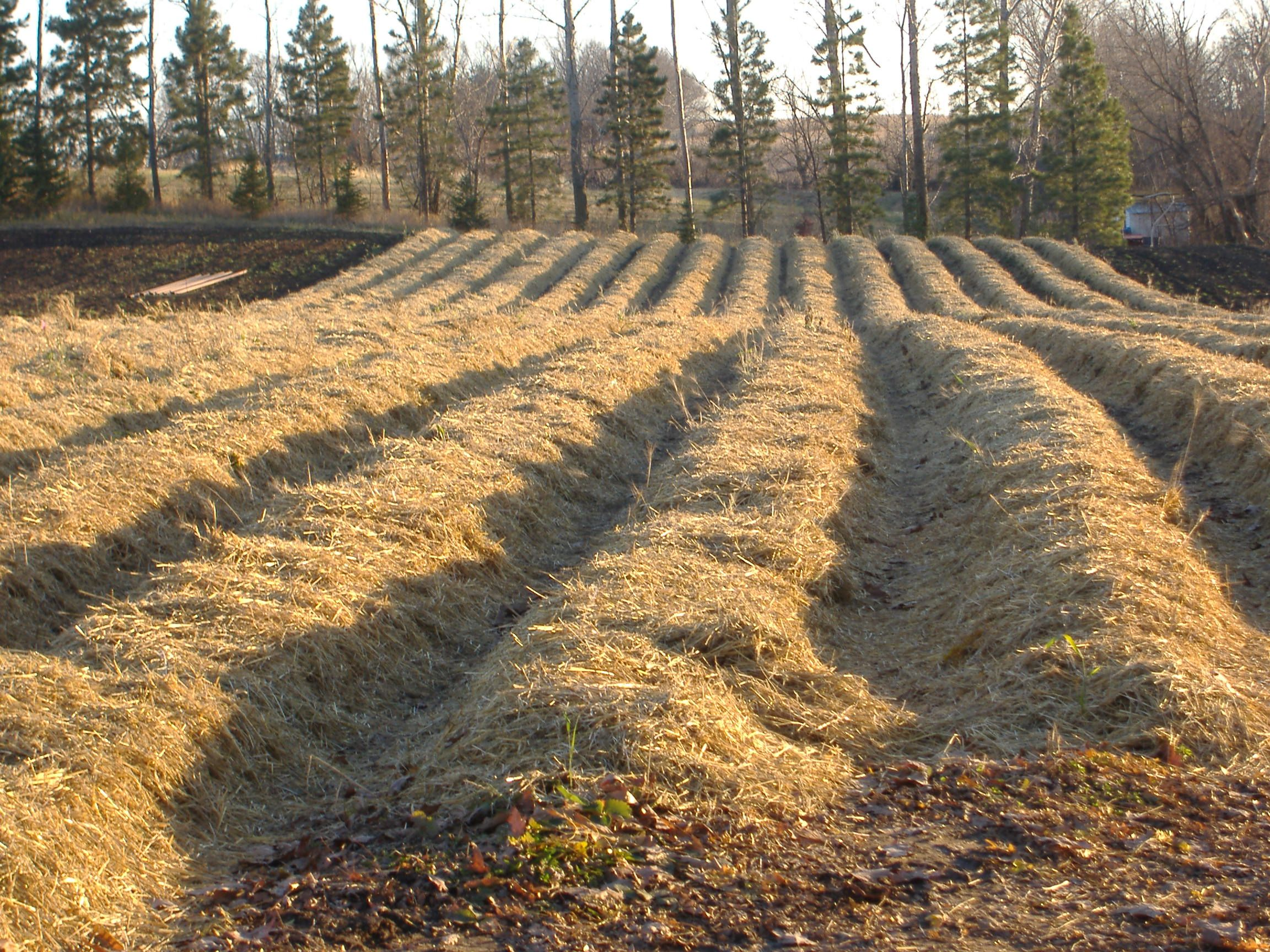 cover strawberries with mulch during the winter gardening