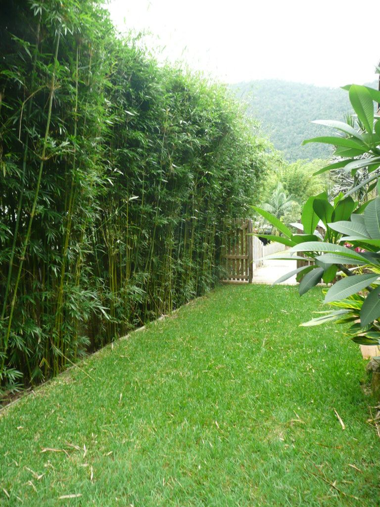 clumping bamboo for narrow sideway adds some much needed greenery  u0026 privacy