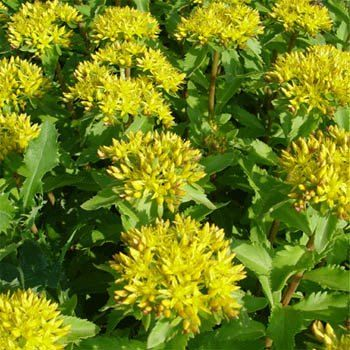 Sedum aizoon groundcover seed gardening pinterest perennial sedum aizoon seeds produce a perennial ground cover that is very drought tolerant the ground cover seed is very small and should be mixed with sand for mightylinksfo