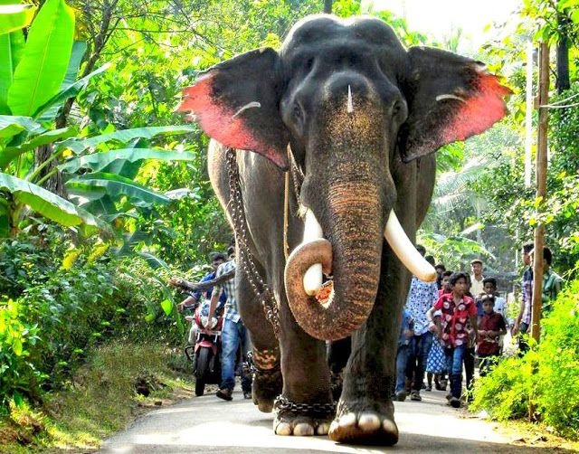 Kerala Elephants Images Pampadi Rajan Photo Kerala Elephants