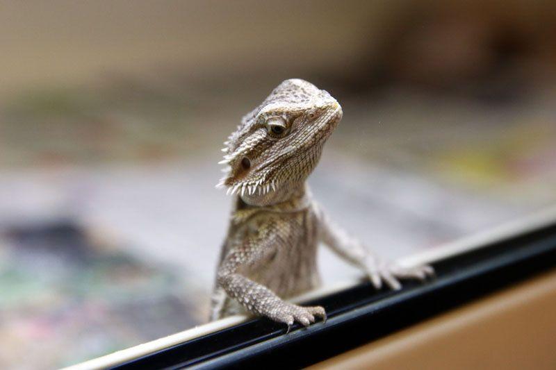 Reptile Rescue Centre Toronto Star Bearded Dragon Bearded Dragon Care Baby Bearded Dragon