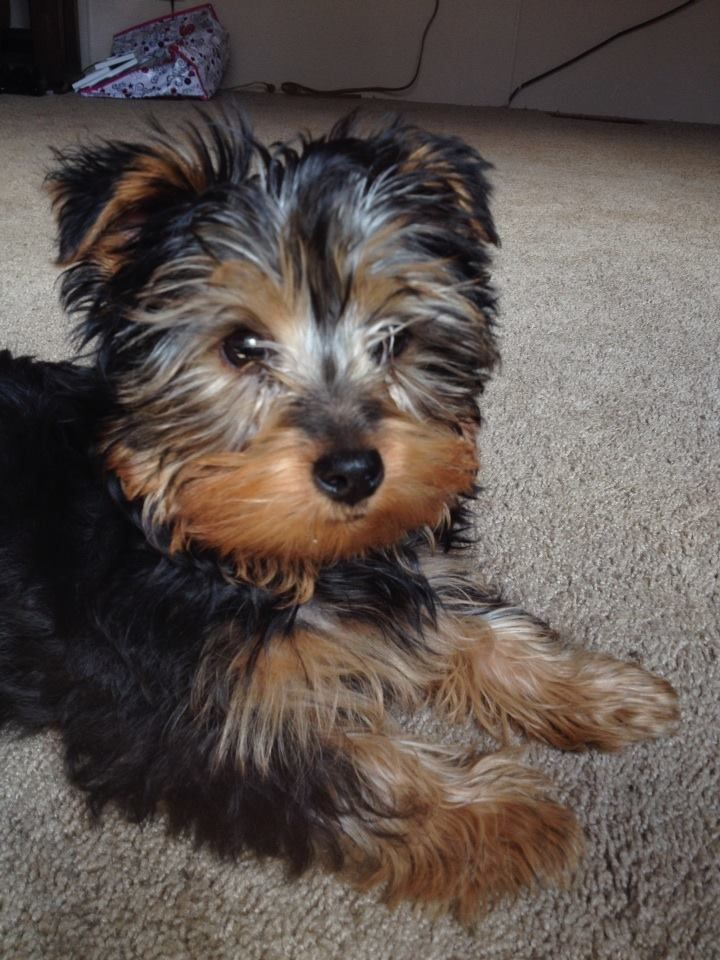Benji my puppy 3 months old yorkie close up with images