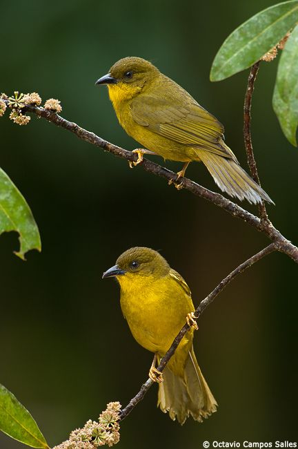 Yellow-Olive Tanagers