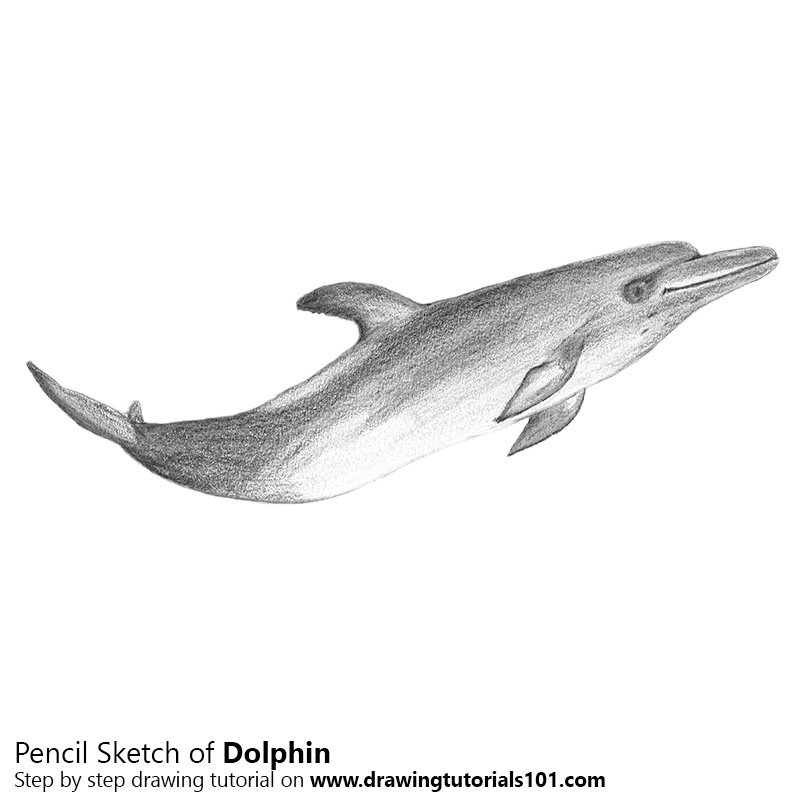 Dolphin Pencil Drawing How to Sketch Dolphin using