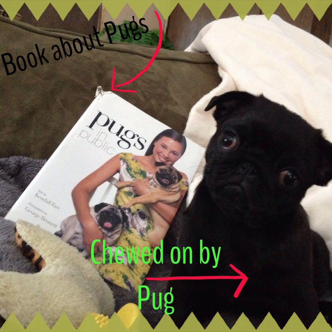 Naughty Pug Puppy Pugs Puppies French Bulldog