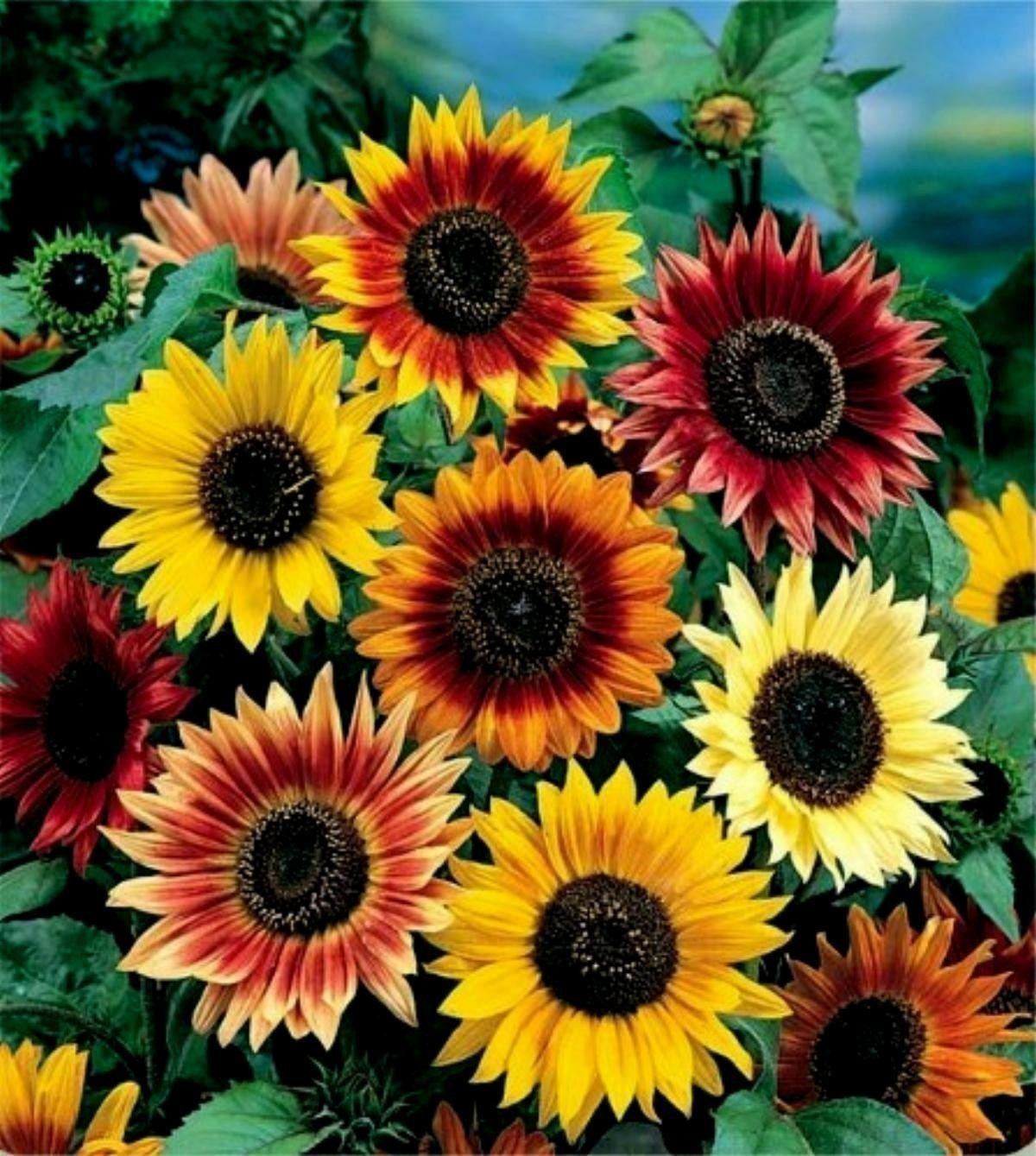 Garden Sunflower Seeds Multi Color Planting Sunflowers Dwarf Sunflowers Flower Seeds