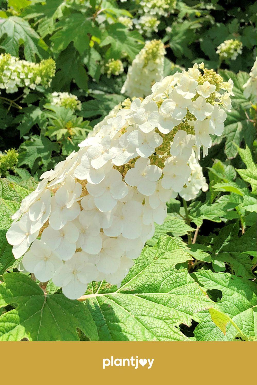 Oakleaf Hydrangeas In 2020 Dried Flower Arrangements Oakleaf Hydrangea Hydrangea