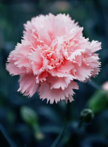 Common Name Carnation Scientific Name Dianthus Caryophyllus Uses Can Be Used In Floral Arrangements Used For Medical Flowers Edible Flowers Flower Garden