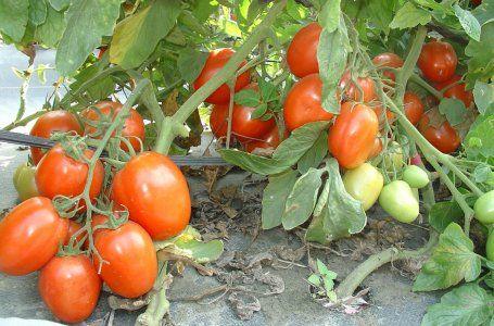 самые низкорослые сорта томатов для теплиц